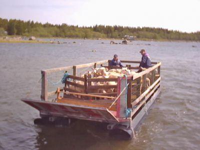 En flotte kommer lastad – med får på väg till skären för bete, tillsam- mans med Jan-Erik Revahl och Jonas Östman. (Foto: Agneta Revahl)