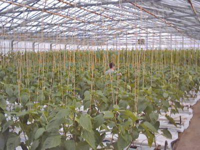 Paprikaodling i Ribäcken. Längre bort i växthuset syns gurkorna. (Foto: Jan-Erik Revahl)