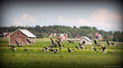 Tranorna är en levande del av Munsmos historia och nutid. (Foto: Tiina Palonen)